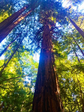 redwood tree, rooted, New Self, Soul Retrieval, Shamanic Healing, Spirit Guides, Energy Healing, Octavia Brooks, Self Awareness