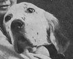 Am/Eng Ch Mallwyd Edward- An influential show dog behind early Rymans.