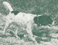 Sport's Peerless- One of the all time top producing field trial dogs. Crosses to him were probably the most important in developing the best dogs Ryman produced at the peak of the kennel.