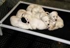 Puppies napping- Sage x Kinnikinnick