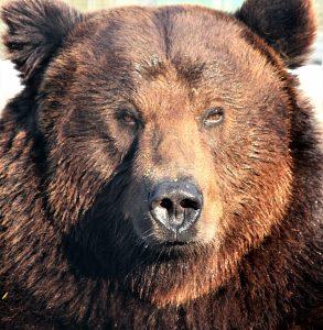 grizzly-bear-portrait