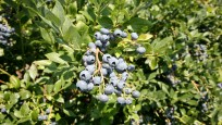Early blueberry season may lead to record breaking year