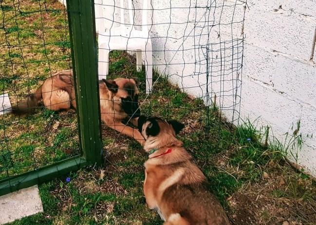 כלבים מקשיבים מעבר לגדר