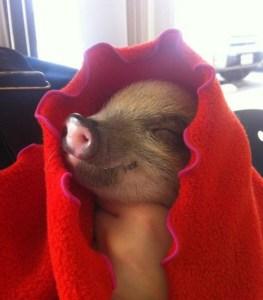 baby-pig-in-blanket