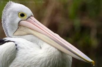 australian_pelican_36349