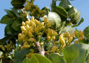 Pistachio bush