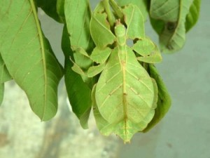 Phyllida, also known as Leaf insects