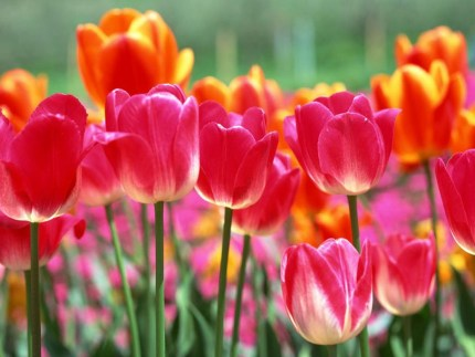 colorful-tulips2