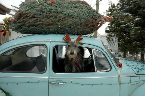 Susie the deerhound