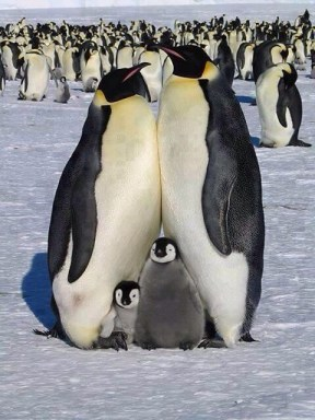 family penguin picture