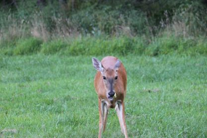 Deer Chewing with mouth open