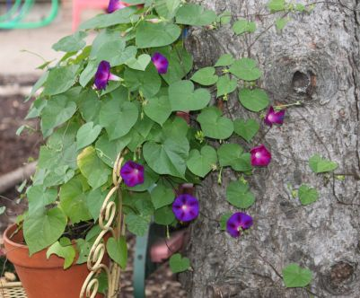 Morning Glories and Yard Art