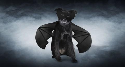 Halloween, bat, dog