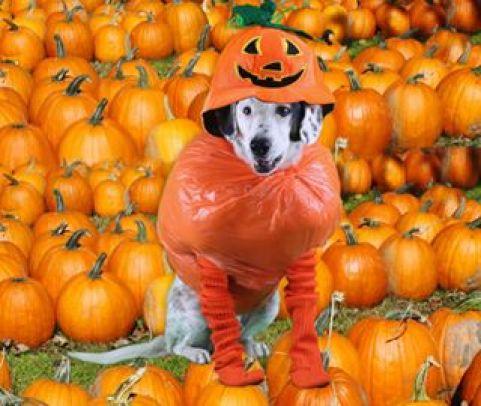 Halloween, Pumpkin, Dog