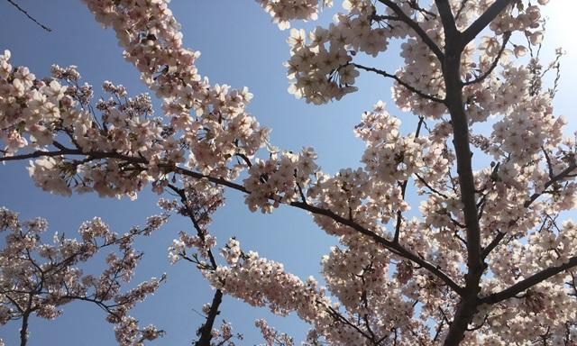 五稜郭 桜 混雑状況
