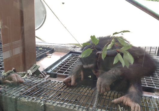 旭山動物園チンパンジー