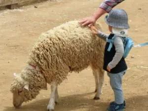 成田ゆめ牧場の羊