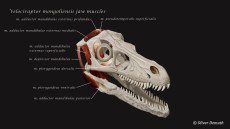 Jaw muscles of Velociraptor mongoliensis