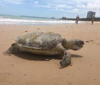 Tartaruga marinha é encontrada morta na praia de Guaxuma