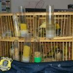 Mais um homem é preso pela PRF transportando aves silvestres