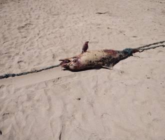 Golfinho morto é achado nas areias da Praia de Cruz das Almas