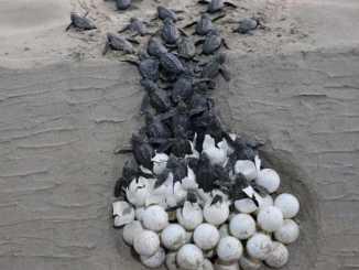 Tartaruga di mare sulla spiaggia di Tiro_Libano