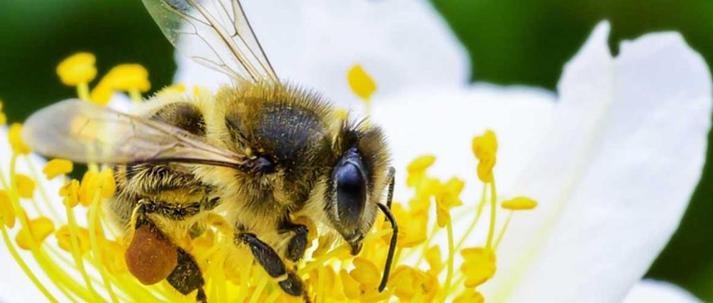 Tres de cada cuatro cultivos de frutas o semillas que se producen para consumo humano dependen, al menos en parte, de las abejas y otros polinizadores. FOTO:FAO/Greg Beals