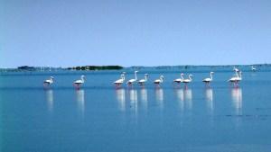 Flamingos at Chilika Lake