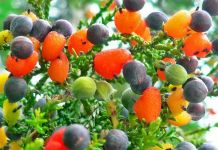 fruit salad tree-2