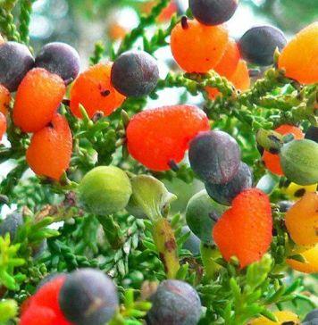 fruit salad tree-2