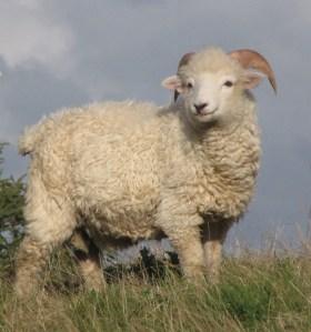 sheep-9