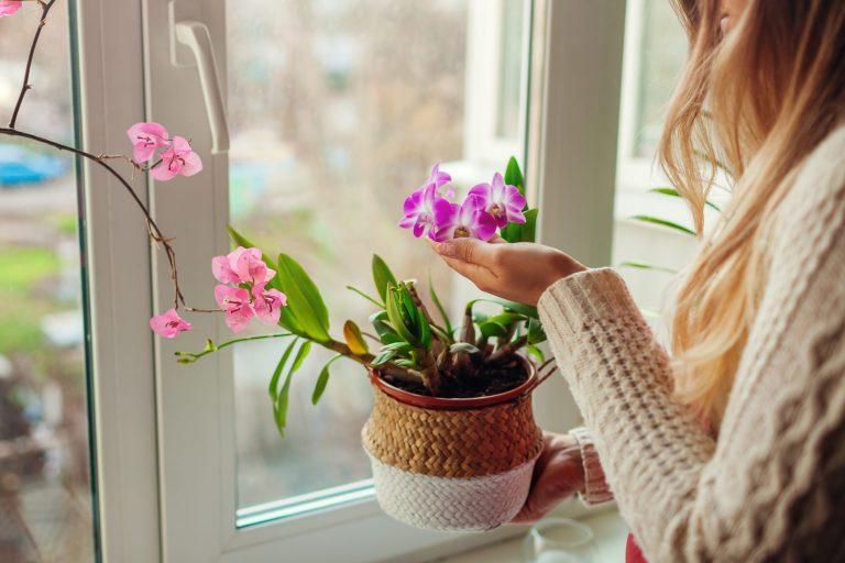 Jak pielęgnować storczyki? Kobieta ogląda fioletowego storczyka orsnącego w doniczce na oknie