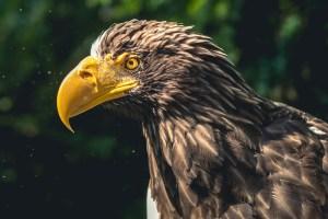 eagle-2657888_960_720