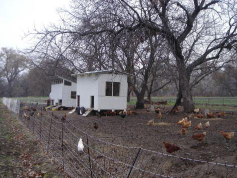 Nettoyage des allées d'arbres avec les poules.