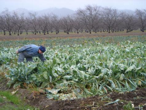 Champ de choux-fleurs détruit par le gel (-8 C) (Guinda, CA. 11 déc. 2009)