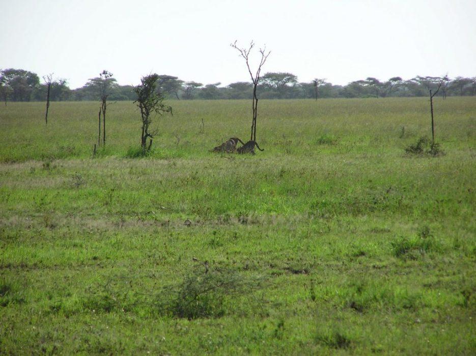 cheeta eating