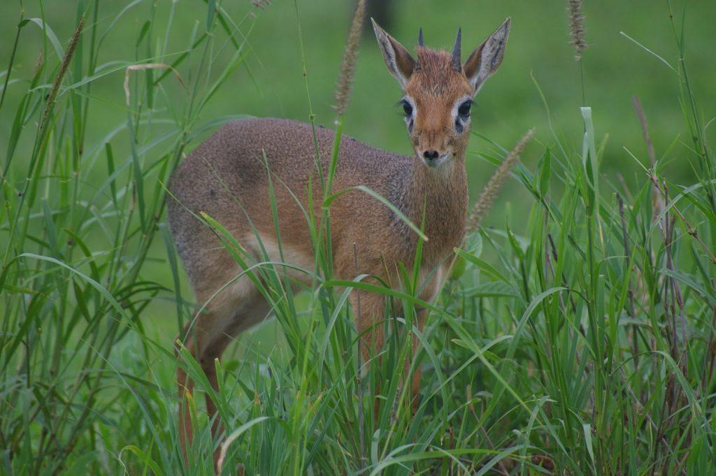 a teeny tiny antelope