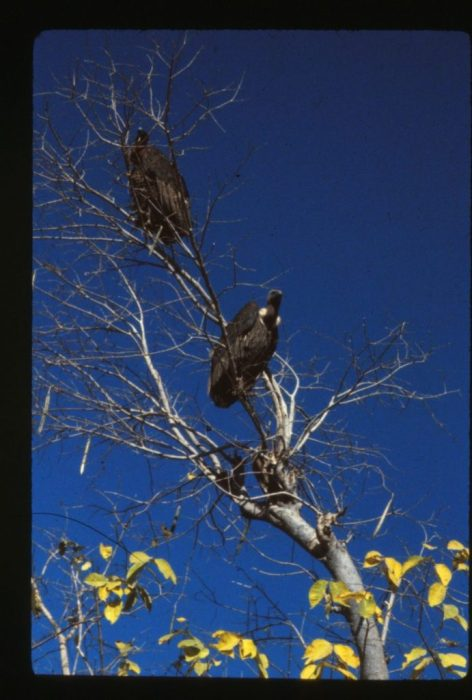 vultures everywhere