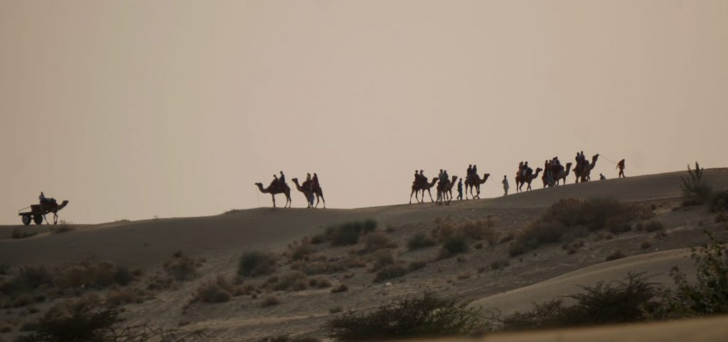 a line of camels