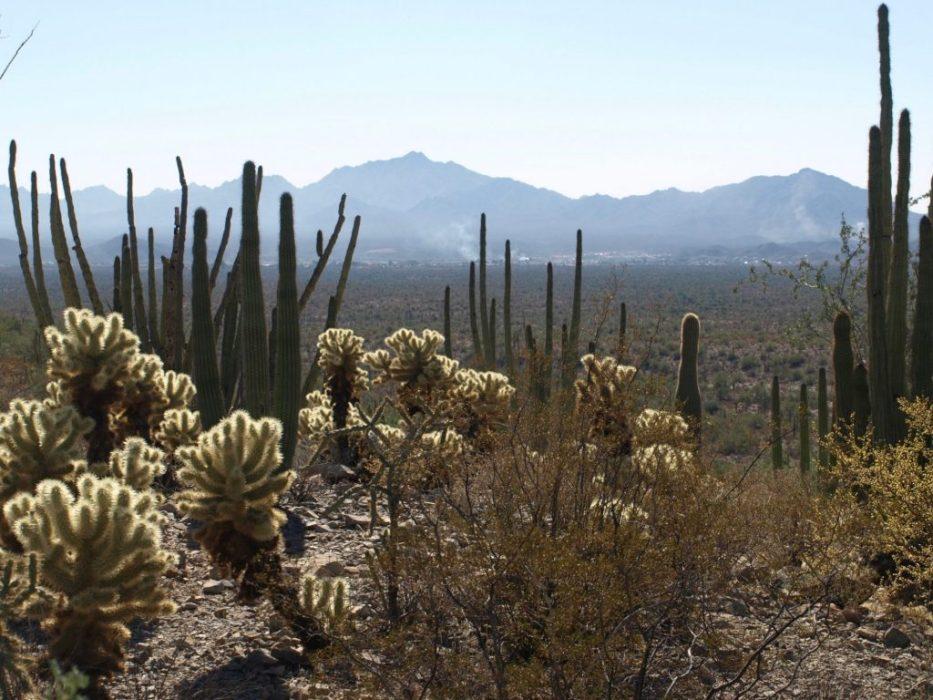 Organ Pipe Cactus park