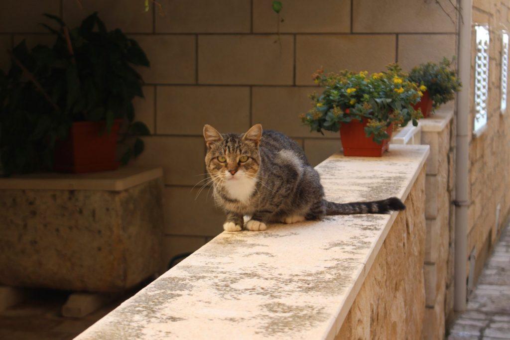 Orebic cat