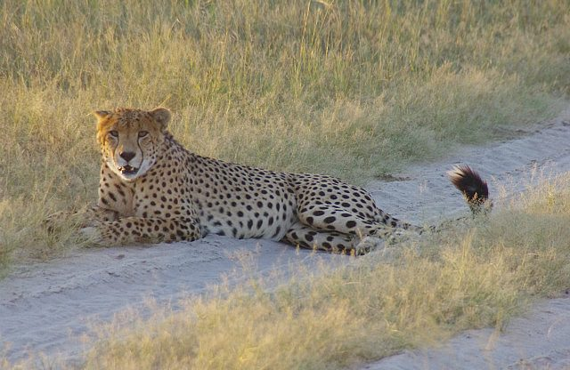 cheeta on the road