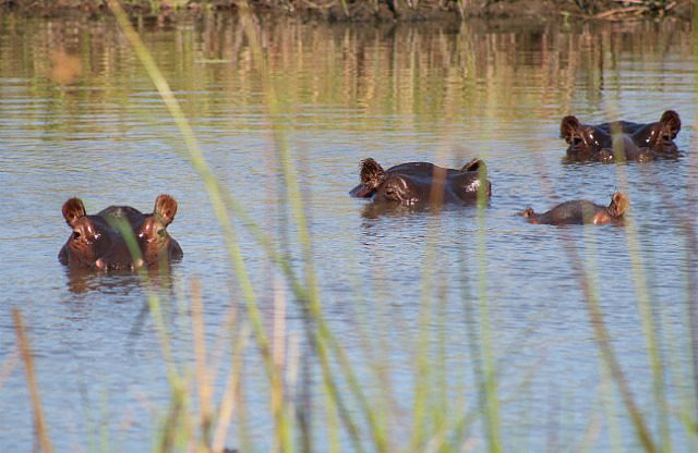 hippos have found a pool