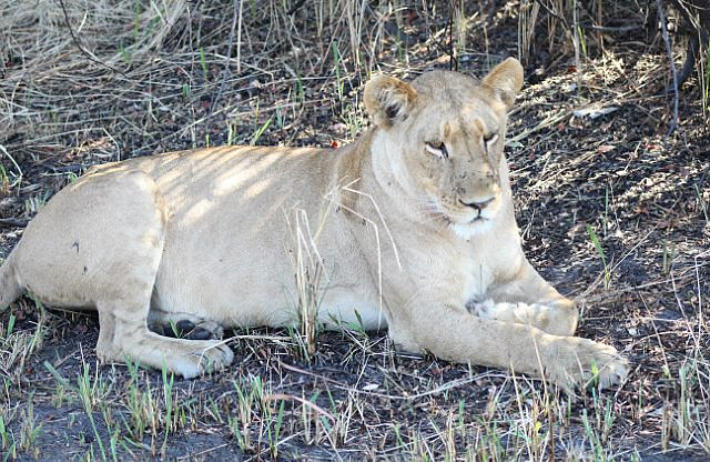 lioness relaxing and digesting