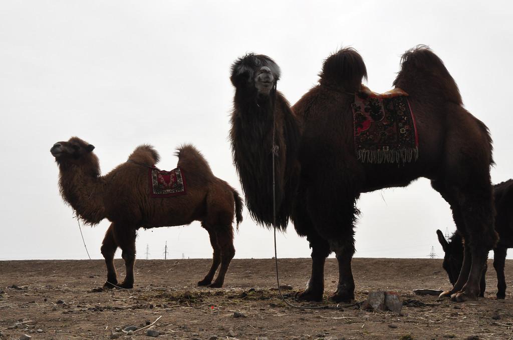 Mongolian Camel - Mongolia