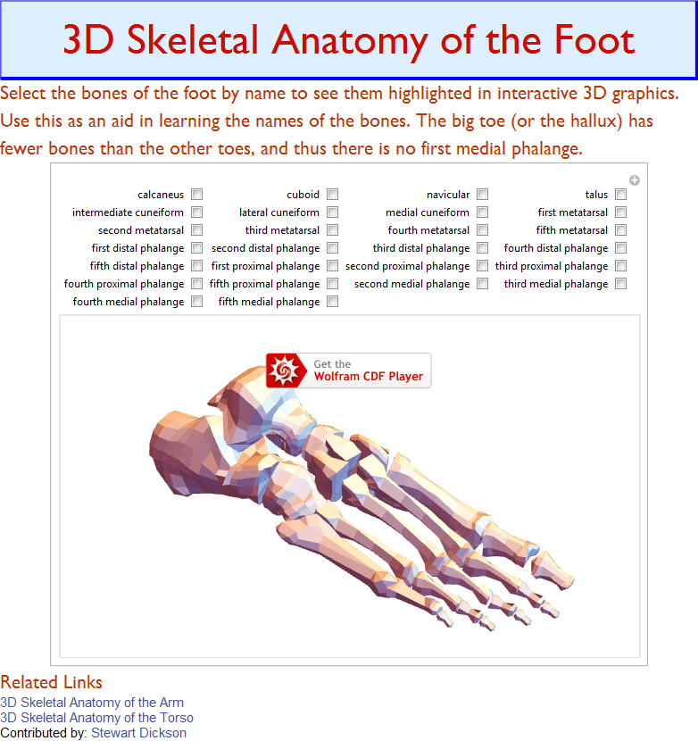 3D Skeletal Anatomy of the Foot – OEMS IntiPakar Corporation Sdn Bhd