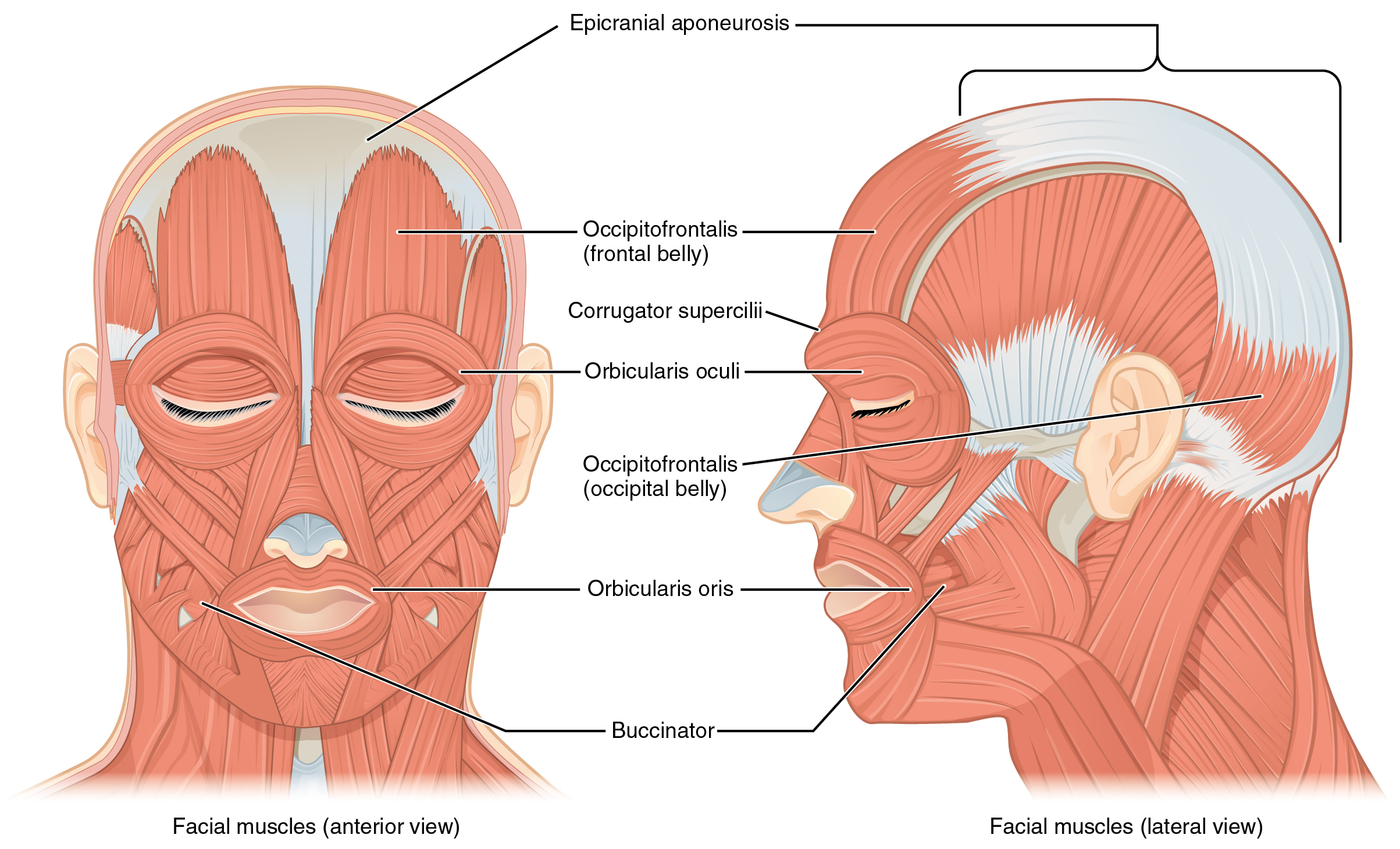 The Left Panel In This Figure Shows The Anterior View Of The Facial Muscles And The Right Panel