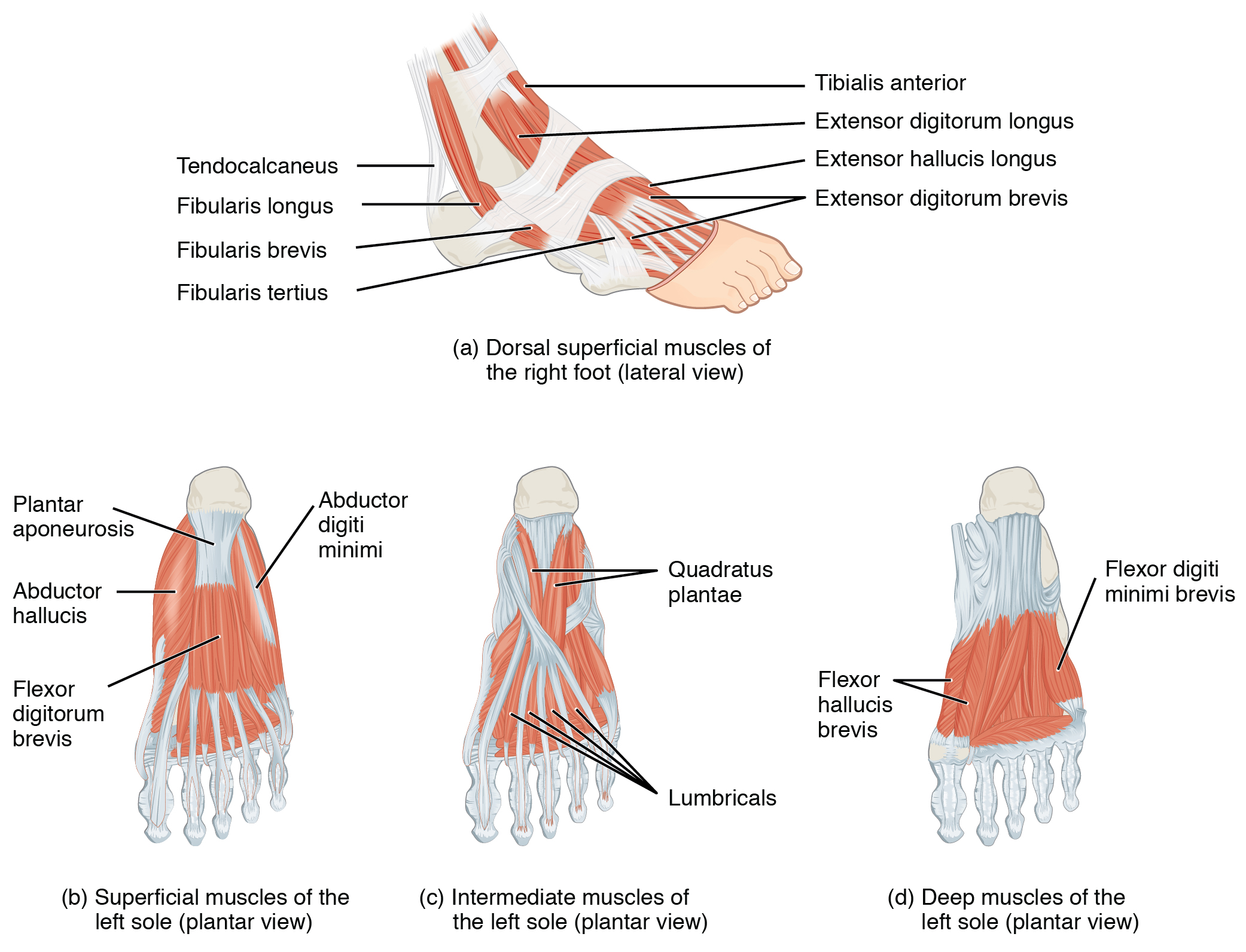 This Figure Shows The Muscles Of The Foot The Top Panel Shows The Lateral View Of The Dorsal