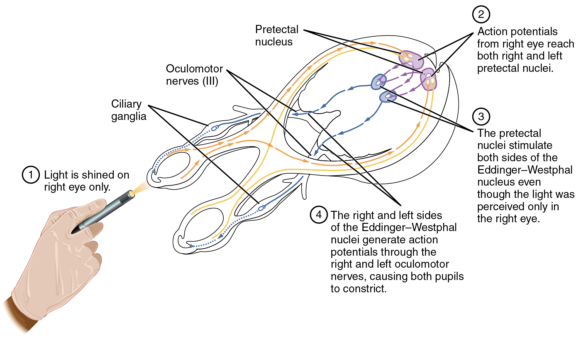 This Diagram Shows The Connections Between The Different Nerves And Pathways In The Eyes A Hand