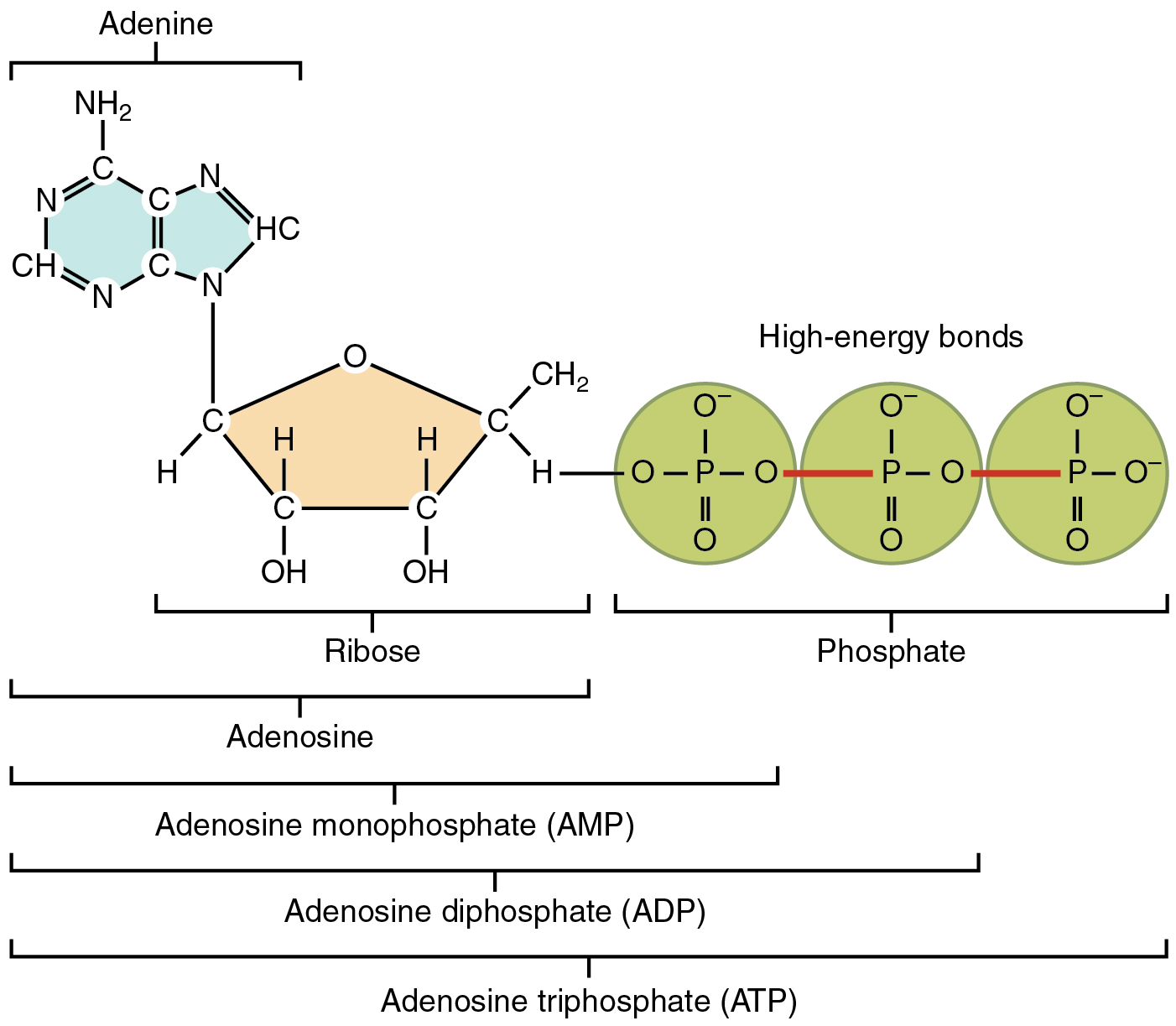 This Figure Shows The Structure Of Atp